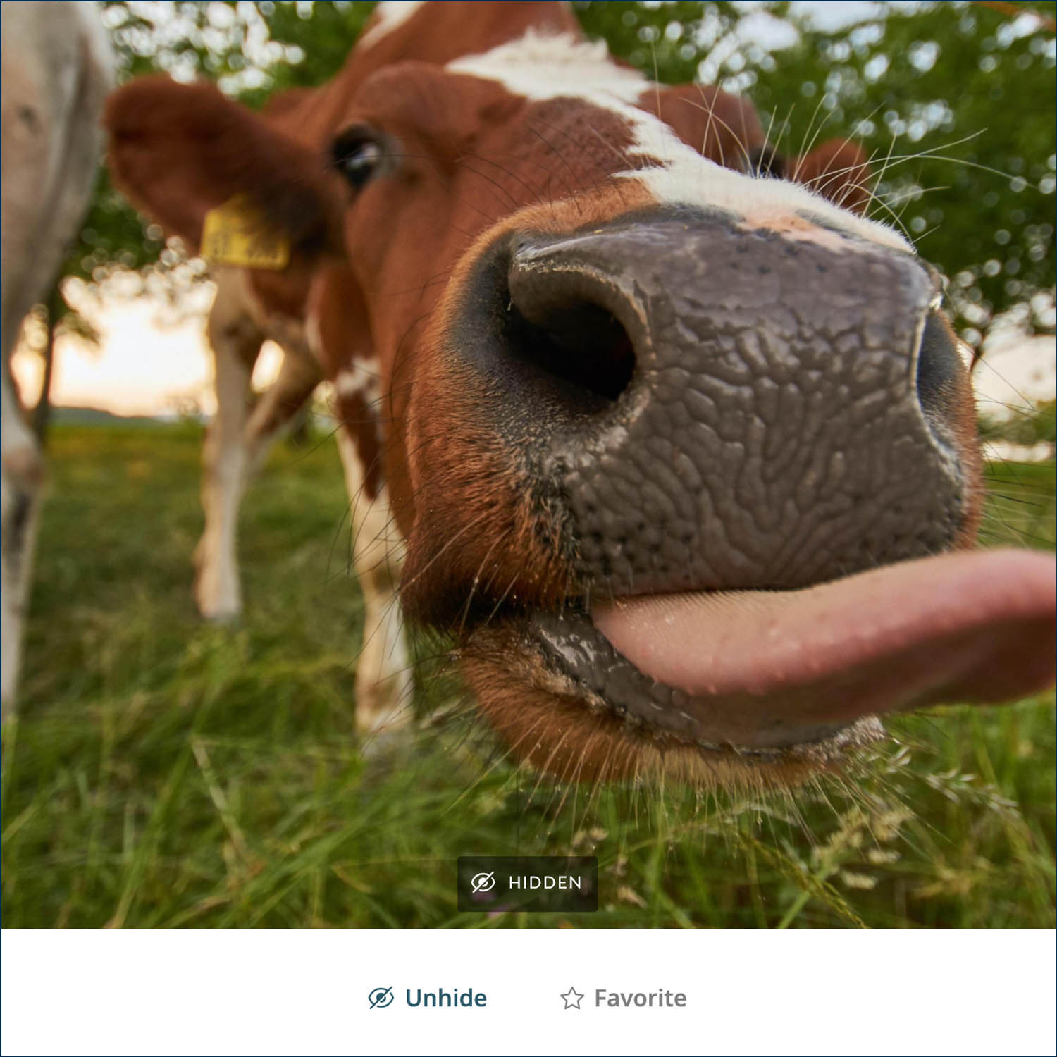 """Wolfgang Hasselmann's silly photo of a cow is a perfect example of a photo that cow might want to """"Hide"""" in her ShootProof gallery!"""