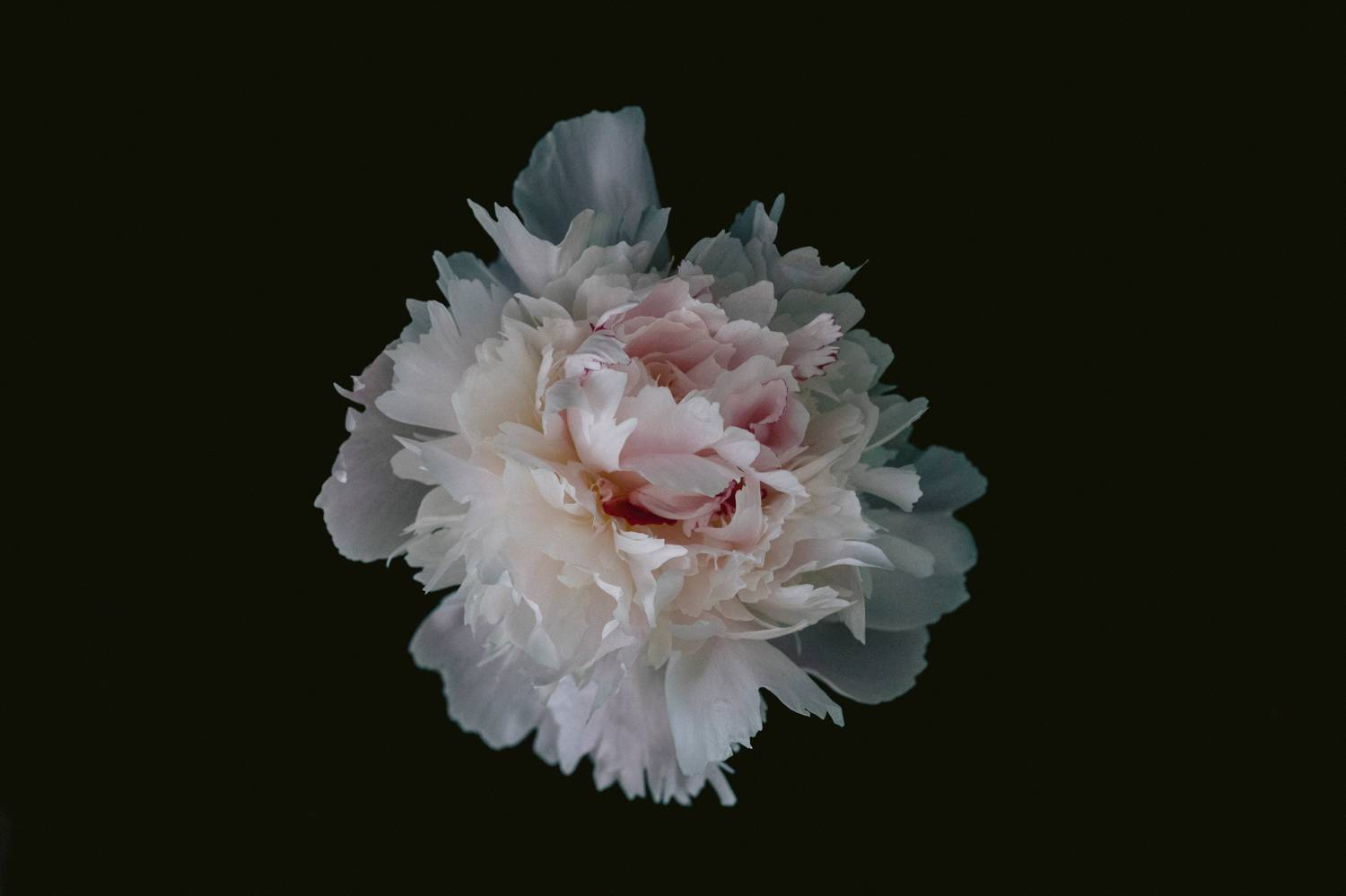 A studio portrait of a blooming rose on a black background. Joshua Wyborn created this fine art photograph as part of his online gallery of canvases and high-quality prints for sale.